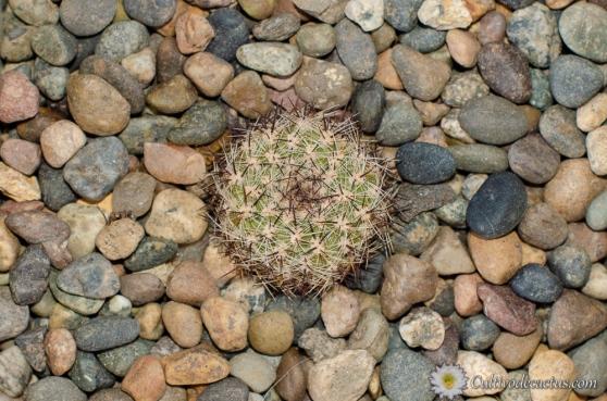Rebutia steinbachii tiraquensis bicolorispina