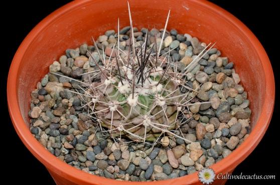Thelocactus rinconensis var. freudenbergeri