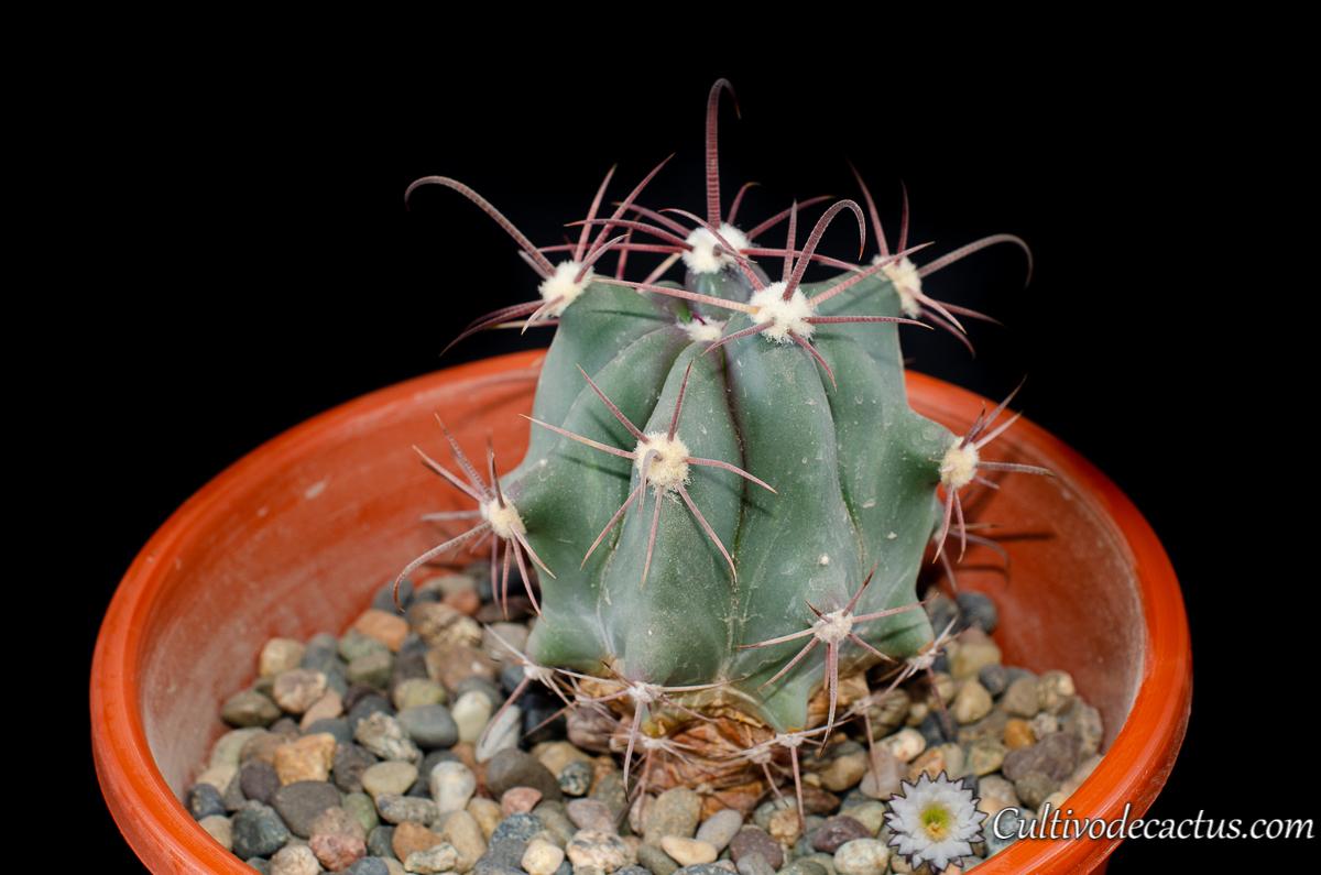 Ferocactus gracilis subs. coloratus, 28 de Septiembre de 2020