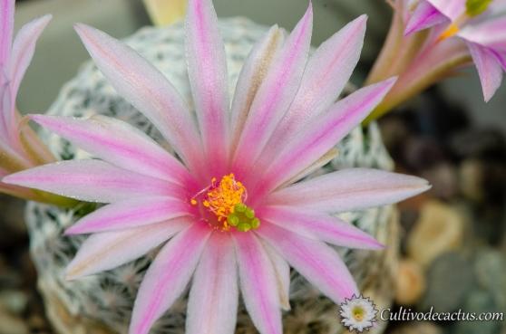Mammillaria-herrerae-2