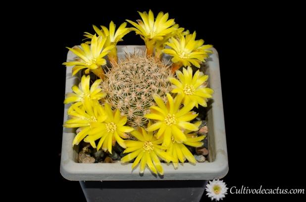 Rebutia breviflora, 28 de Septiembre de 2020